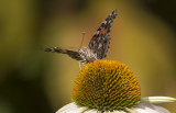 Belle dame / Painted Lady (Vanessa cardui)