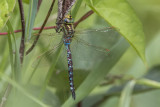 Aeschne constrictor / Lance-tipped Darner male (Aeshne constricta)