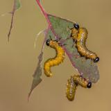 Larves de mouches à scie (tendrèdes) / Sawfly larvae