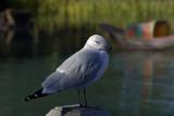 Goéland à bec cerclé / Ring-billed Gull (Larus delawarensis)