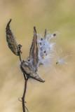 Asclépiade commune / Common Milkweed (Asclepias syriaca)