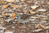 Bruant à gorge blanche / White-throated Sparrow (Zonotrichia albicollis)