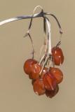 Fruits de viorne (Viburnum)
