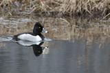 Fuligule à collier / Ring-necked Duck (Aythya collaris)