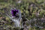 Anémone pulsatille / Pasque Flower (Pulsatilla vulgaris)