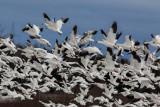Oie des neiges / Snow Goose (Chen caerulescens)