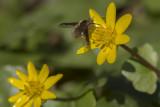 Bombyle du Canada  (Bombylius canadensis)