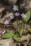 Claytonie de Caroline / Broadleaf springbeauty (Claytonia caroliniana)