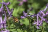 Abeille / Honey bee