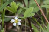 Fraisier des bois / Woodland Strawberry (Fragaria vesca)