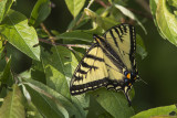 Papillon tigré du Canada / Canadian Tiger Swallowtail (Papilio canadensis)