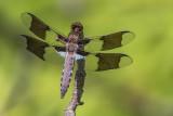 Libellule lydienne / Common Skimmer male immature (Libellula lydia)