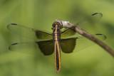 Libellule mélancolique /Widow Skimmer female (Libellula luctuosa)