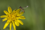 Syrphe ou syrphide / Hoverfly
