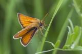 Hespérie des graminées / European Skipper (Thymelicus lineola)