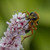 Grand sphex doré / Great Golden Digger Wasp (Spex ichneumoneus)