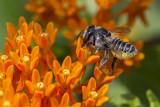 Mégachile ou abeille découpeuse / Leafcutter Bee (Megachile rotundata)