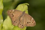 Satyre ocellé / Eyed Brown (Lethe eurydice)