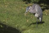 Grand Héron / Blue Heron (Ardea herodias)