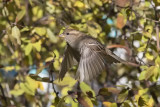 Moineau domestique / House Sparrow (Passer domesticus)