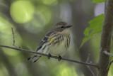 Paruline à croupion jaune / Yellow-rumped Warbler (Drendroica coronata)