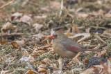Cardinal rouge / Northern Cardinal female (Cardinalis cardinalis)
