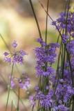 Ail / Allium (Allium thunbergii 'Ozama')
