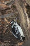 Pic chevelu / Hairy Woodpecker male (Picoides villosus)