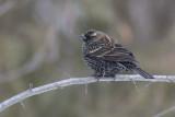 Carouge à épaulettes / Red-winged Blackbird (Agelaius phoeniceus)