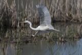 Grande Aigrette / Great Egret (Ardea alba)