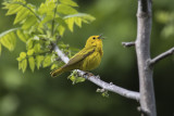 Pauline jaune / Yellow Warbler (Dendroica petechia)