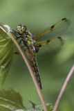Libellule quadrimaculée / Four-spotted Skimmer (Libellula quadrimaculata)