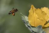 Abeille domestique / Honey Bee