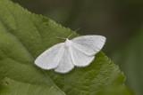 Vestal Moth (Cabera variolaria)