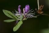 Rhododendron du Canada / Rhodora (Rhododendron canadense)