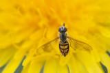 Syrphe / Hoverfly (Toxomerus marginatus)