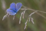 Bleu nordique / Northern Blue male (Plebejus idas)