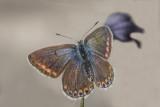 Bleu nordique / Northern Blue female (Plebejus idas)