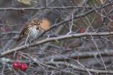 Bruant fauve / Fox Sparrow (Passerella iliaca)