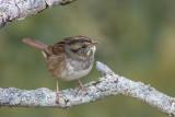 Bruant à gorge blanche / White-throated Sparrow juvenile (Zonotrichia albicollis)