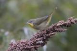 Paruline masquée / Common Yellowthroat female (Geothlypis trichas)