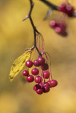 Cerisier de Pennsylvanie (petit merisier) / Pin Cherry (Prunus pensylvanica)