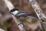 Mésange à tête noire / Black-capped Chickadee (Poecile atricapillus)