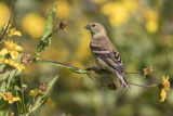 Chardonneret jaune / American Goldfinch (Spinus tristis)