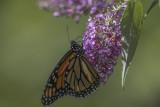 Monarque / Monarch (Danaus plexippus)