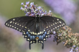 Papillon du céleri / Black Swallowtail female (Papilio polyxenes)