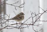 Bruant hudsonian / American Tree Sparrow (Spizella arborea)