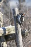 Pic chevelu / Hairy Woodpecker (Picoides villosus)