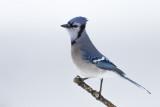 Geai bleu / Blue Jay (Cyanocitta cristata)