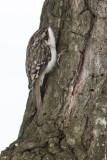 Grimpereau brun / Brown Creeper (Certhia americana)